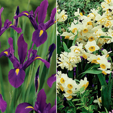 Dutch Iris Hildegarde / Narcissus Chinese Sacred Lily - 80 Bulbs
