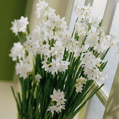 Narcissus Paperwhite - 25 Bulbs