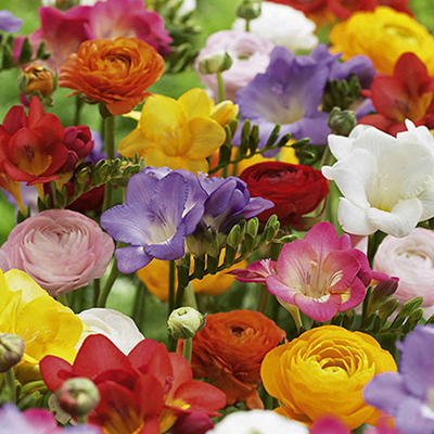Freesia / Ranunculus Mixed - 100 Bulbs