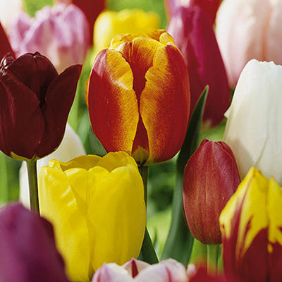Longstemmed Tulip Mix - 60 dormant bulbs