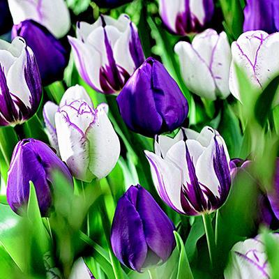 Tulip - Negrita / Shirley / Rem's Favorite - 50 Bulbs