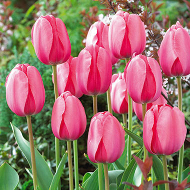 Tulip Pink Impression - 60 Bulbs