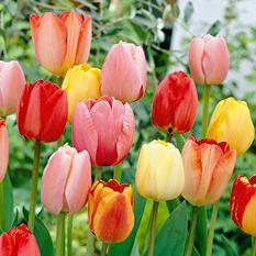 Tulip Longstemmed Pastel Mix - 60 Bulbs