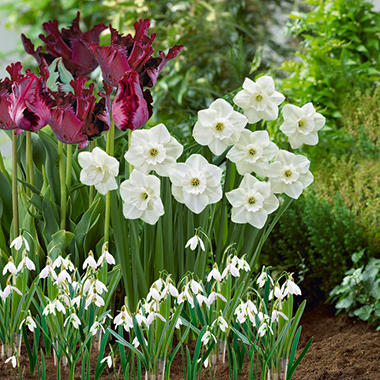 40 Bulb Collection - 10 Tulip Black Parrot, 10 Narcissus Stainless, 20 Leucojum