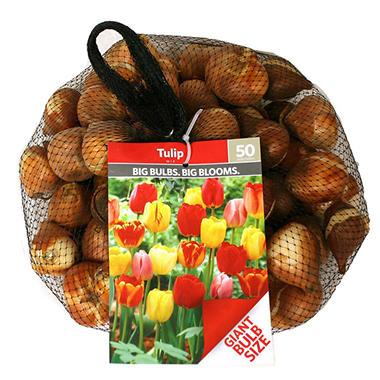Tulip Red - Bag of 100 Bulbs