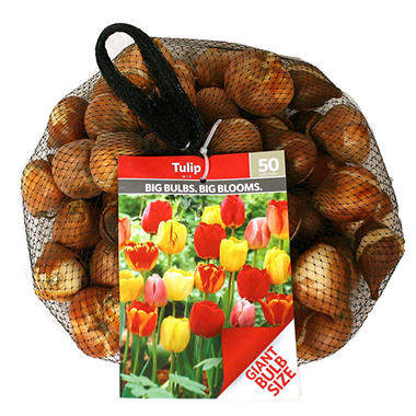 Tulip Red - Bag of 100 Bulbs