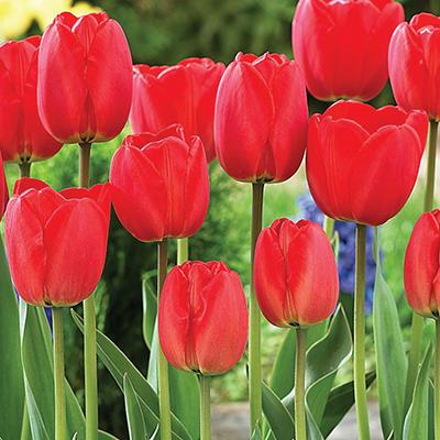 Tulip Parade - Bag of 50 Bulbs