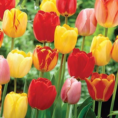 Tulip Mix - Bag of 50 Bulbs