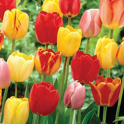 Tulip Mix - Bag of 50 Bulbs