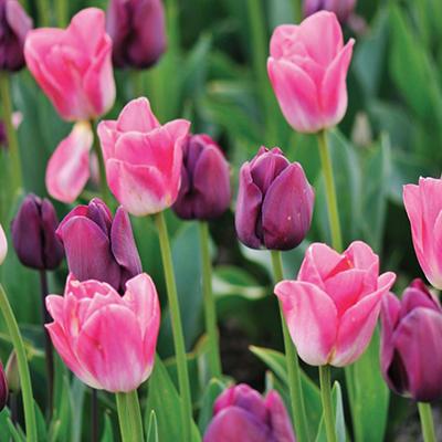 Tulip Purple/Pink Blend - Bag of 40 Bulbs
