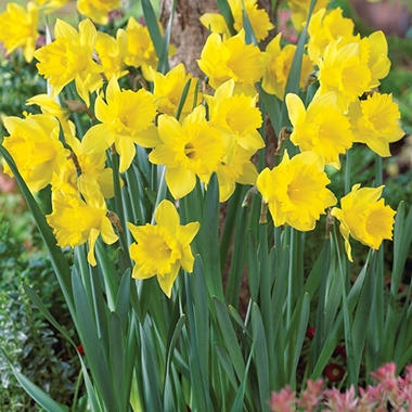 Daffodil Yellow Trumpets - Bag of 50 Bulbs