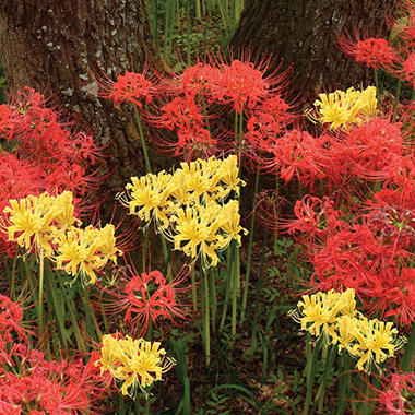 Lycoris Mixed Bag of 18 Bulbs - 9 Red & 9 Yellow
