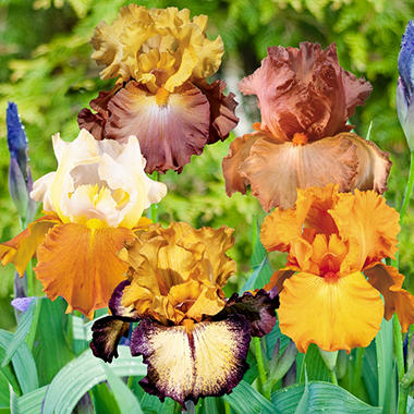 "Bearded Iris ""Tequila Sunrise"" Collection  - Pack of 9 Rhizomes"