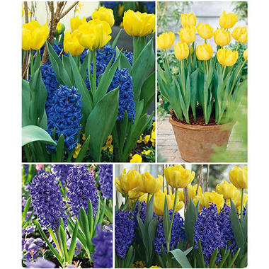 Hyacinths and Double Tulips - 40 dormant bulbs