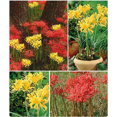 Lycoris Combo - 18 dormant bulbs