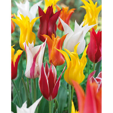 Tulip Lily Flowering Mix - 50 dormant bulbs