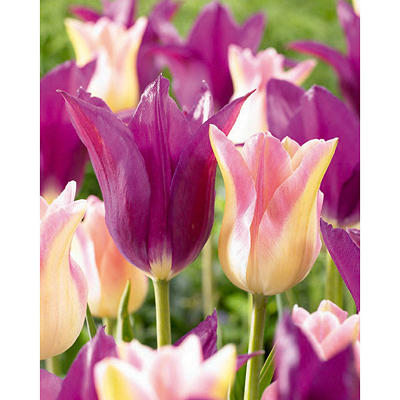 Elegant Lady and Purple Dream Tulips - 40 dormant bulbs