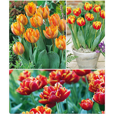 Orange Princess and Cilesta Tulips - 40 dormant bulbs