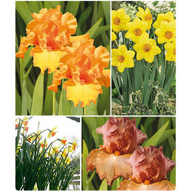 Bearded Iris and Narcissus - 4 dormant rhizomes and 20 dormant bulbs