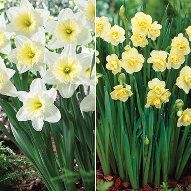 Fortissimo Daffodil and Paperwhite Narcissus Combo - 40 dormant bulbs