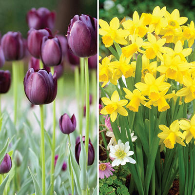 Tulip and Narcissus Combo - 40 dormant bulbs