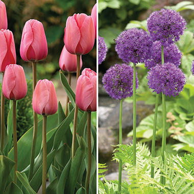 Pink Impression Tulip and Purple Sensation Allium - 40 dormant bulbs