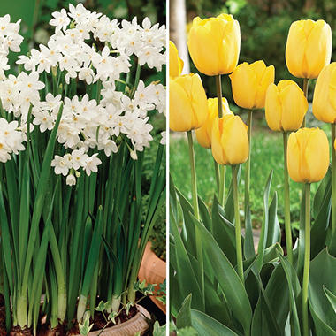 Golden Apeldoorn Tulip and Paperwhite Narcissus - 40 dormant bulbs
