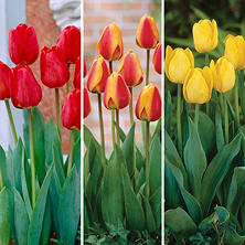 Tulip Spring Blend - 60 Dormant Bulbs