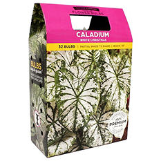 Caladium White Christmas - 40 dormant bulbs
