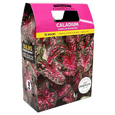 Caladium Carolyn Whorton - 40 dormant bulbs