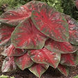 Caladium Red Flash - 40 dormant bulbs