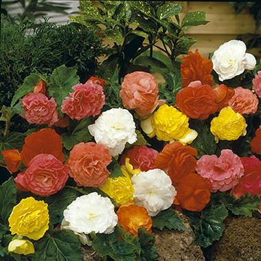 Begonia Non-Stop Mixed Bulbs