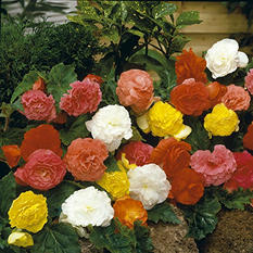 Begonia Non-Stop Mixed Bulbs