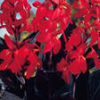 Canna Red Futurity - 12 dormant bulbs