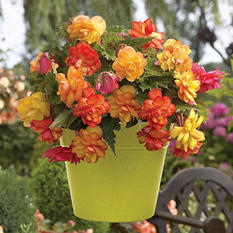Begonia Golden Balcony - Package of 10 Dormant Bulbs
