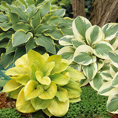 Hosta Zounds/Ylw River/Mama Mia