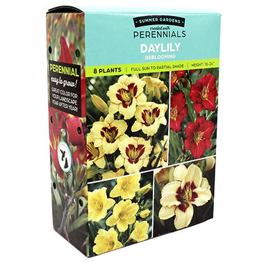 Daylily Reblooming - 9 dormant plants