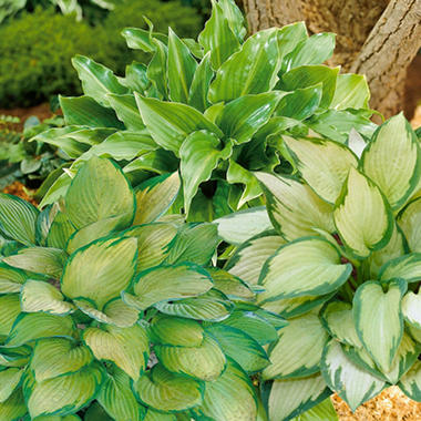 Hosta Invincible/Guacamole/Paul's Glory - 9 dormant plants