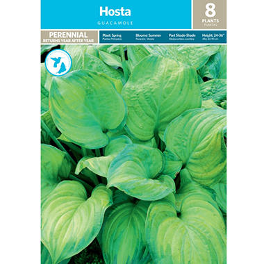 Hosta Guacamole - Package of 8 Dormant Plants