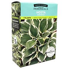 Minuteman Hosta - 8 Dormant Plants