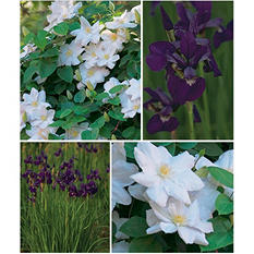 Henyrii Clematis and Siberica Caesar's Brother Iris - 8 Dormant Plants