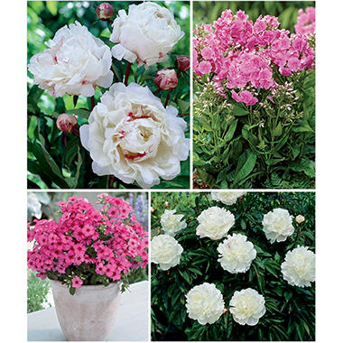 PEONY/PHLOX 9 DORMANT PLANTS