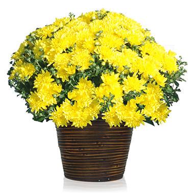 """8"""" Harvest Basket Garden Mum"""