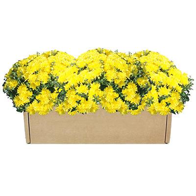 Garden Mum Multipack Box - 3 Pack