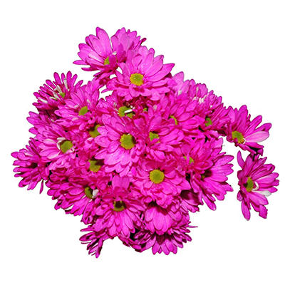 Poms - Tinted Hot Pink - 60 Stems