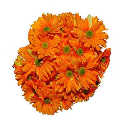 Poms - Tinted Orange - 60 Stems