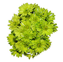 Poms - Tinted Lime Green - 60 Stems