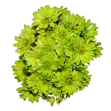 Poms - Tinted Lime Green (60 Stems)