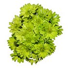 Poms - Tinted Lime Green - 60 StemsImage