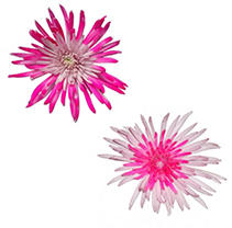 Innie/Outtie Disbuds - Hot Pink and Pink - 60 Stems